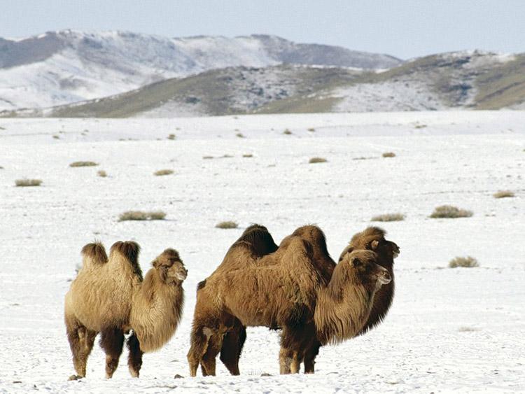 Mis on kaameli liige kiiresti ja tohusalt suurendada peenise